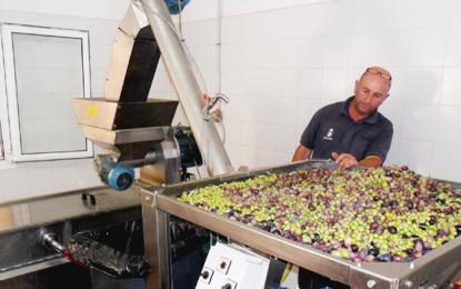 La zafra de la aceituna en Santa Lucía recoge los primeros mil kilos y pone en marcha la almazara